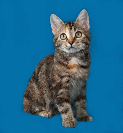 tricolor: Tricolor kitten sitting on blue background Stock Photo