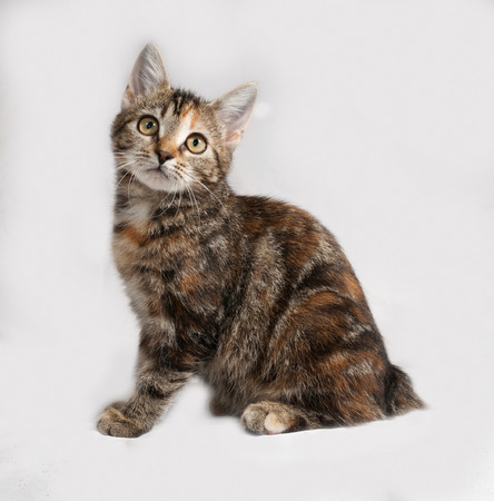 tricolor: Tricolor kitten sitting on gray background