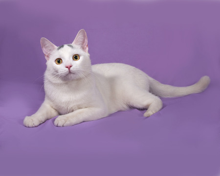 gray cat: White cat with gray spots lies on lilac background Stock Photo
