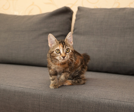 tricolor: Tricolor kitten sitting on gray couch