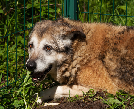 grizzled: Old red dog lying on green grass background
