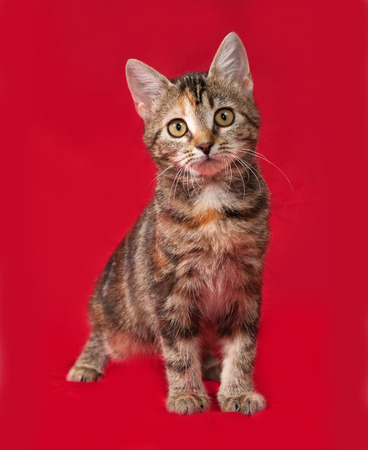 tricolor: Tricolor kitten sitting on red background