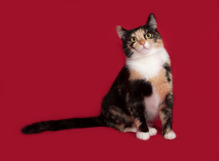 tricolor: Tricolor cat sitting on red background