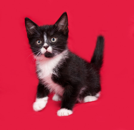 white fur: Black and white kitten sitting on red background