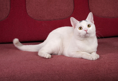 red couch: White cat with gray spots lies on red couch Stock Photo