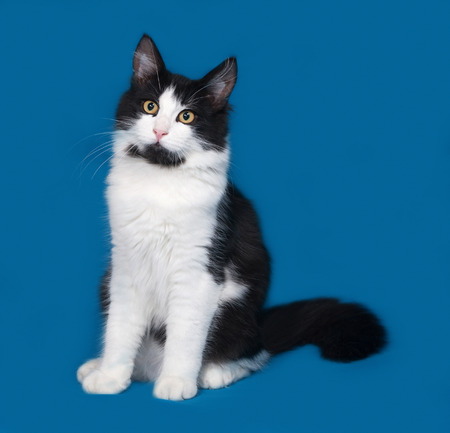 white fur: Fluffy black and white cat sitting on blue background