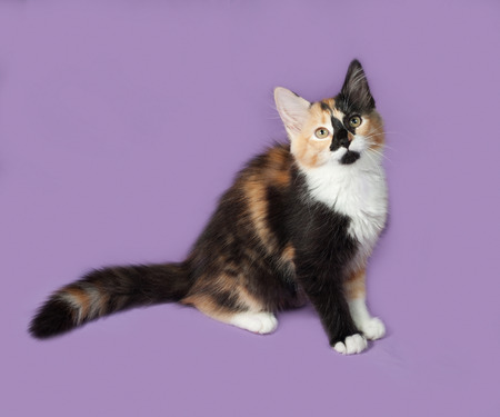 tricolor: Tricolor kitten sitting on lilac background