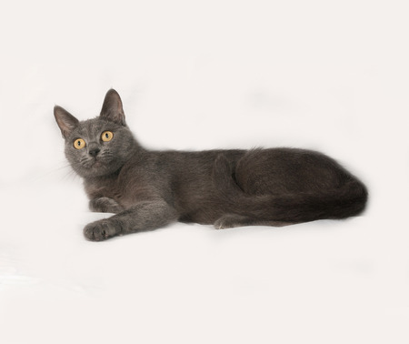 gray cat: Russian blue cat lies on gray background Stock Photo