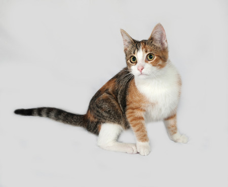 tricolor: Tricolor kitten lies on gray background