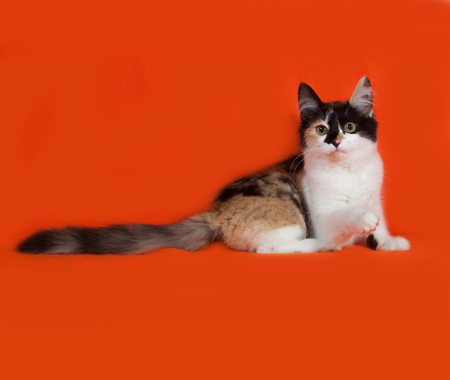 tricolor: Tricolor fluffy kitten lies on orange background Stock Photo