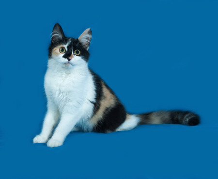 fluffy: Tricolor fluffy kitten sitting on blue background