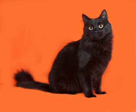 fluffy: Black fluffy cat sits on orange background
