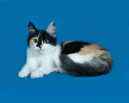 tricolor: Tricolor fluffy kitten lies on blue background