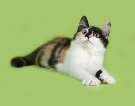 tricolor: Tricolor fluffy kitten lies on green background