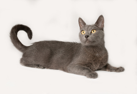 russian blue: Russian blue cat lies on gray background Stock Photo