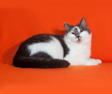 gray cat: White and gray spotted cat lies on orange background