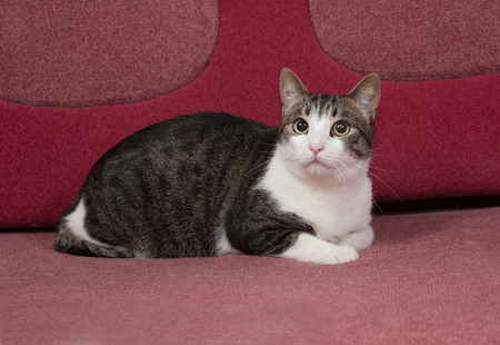 red couch: Tabby and white cat lying on red couch