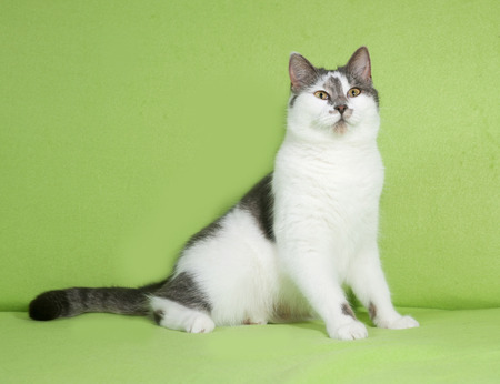 gray cat: White and gray spotted cat sitting on green background Stock Photo