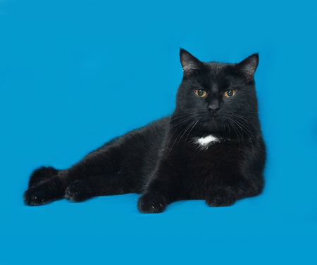 white cat: Black and white cat lying on blue background