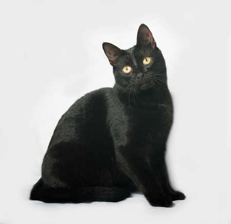 gray cat: Black cat sitting on gray background