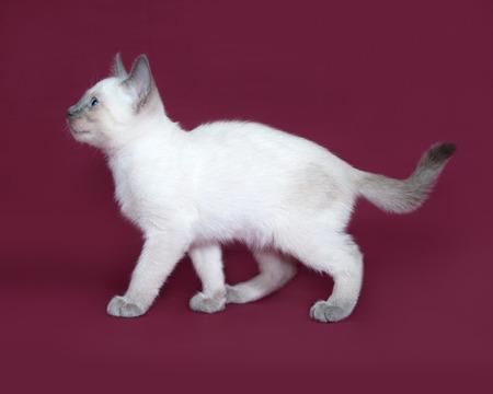 burgundy background: Thai white kitten going on burgundy background