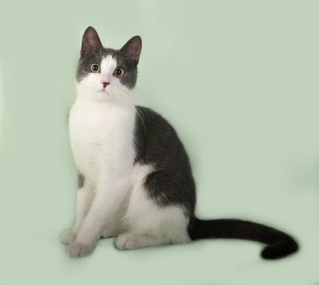 white fur: Grey and white cat sitting on green background Stock Photo