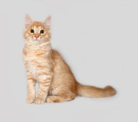 fluffy: Red fluffy kitten sitting on gray background