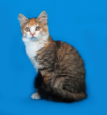 tricolor: Tricolor kitten sittng on blue background Stock Photo