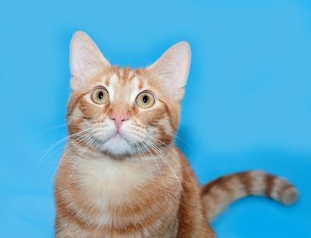 on ear: El jengibre atigrado gato sentado sobre fondo azul