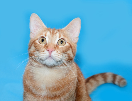 ear: Ginger tabby cat sitting on blue background Stock Photo