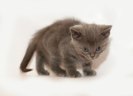 scottish straight: Gray kitten Scottish Straight stands on gray background