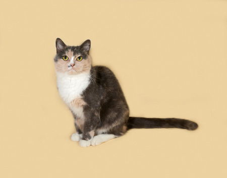 tricolor: Tricolor cat sits on yellow background