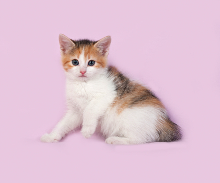 tricolor: Tricolor kitten sitting on pink background