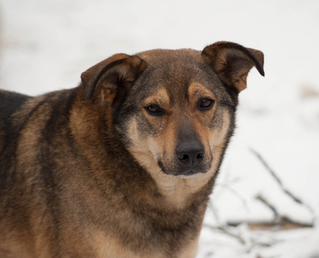 fulvous: Brown mongrel dog in white snow