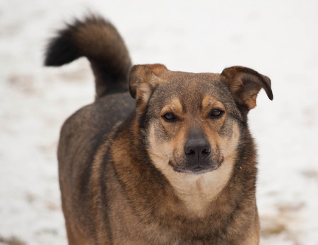 fulvous: Brown mongrel dog going on white snow