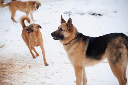 cur: Three red barking dog on white snow