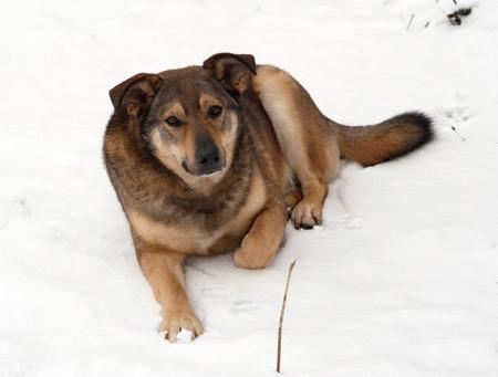 lurid: Brown mongrel dog lies in white snow