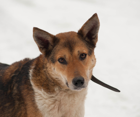 cur: Red mongrel dog standing in white snow Stock Photo