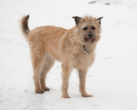 cur: Red mongrel shaggy dog standing in white snow