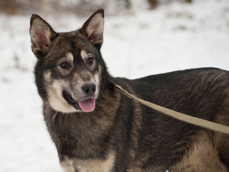grizzle: Black and gray mongrel dog standing on white snow