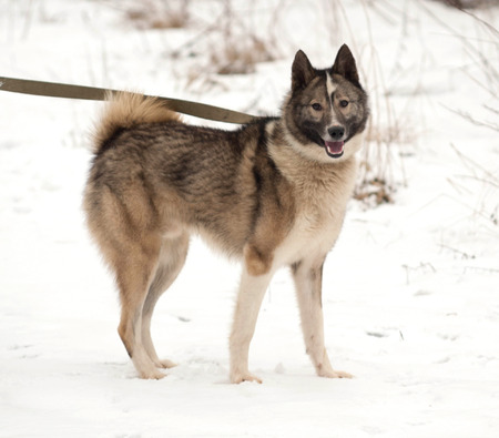 blanch: Grey Siberian Laika standing on white snow
