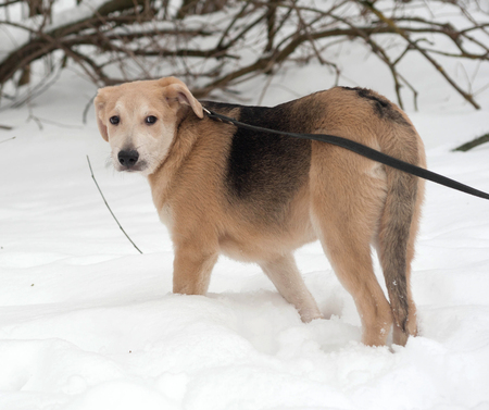 mongrel: Yellow mongrel puppy standing on white snow