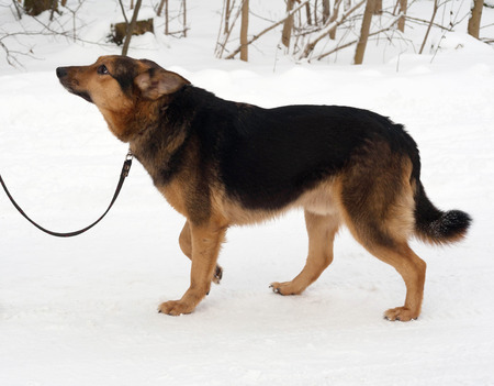 cur: Black and red mongrel dog goes on white snow