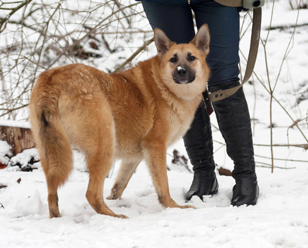 cur: Red mongrel dog standing on white snow