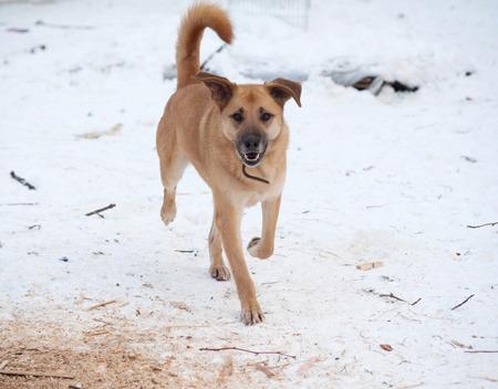 cur: Yellow mongrel dog running on white snow
