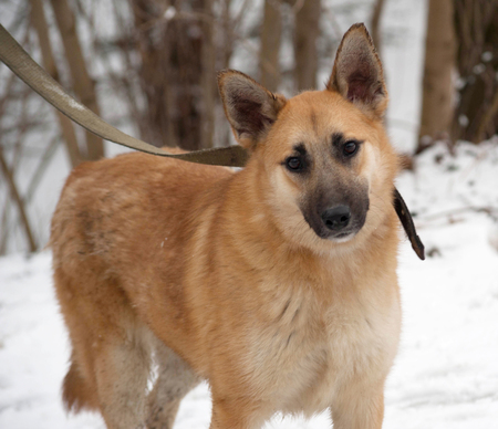 mongrel: Red mongrel dog standing on white snow