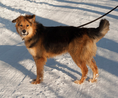 mongrel: Red and black mongrel dog standing on white snow