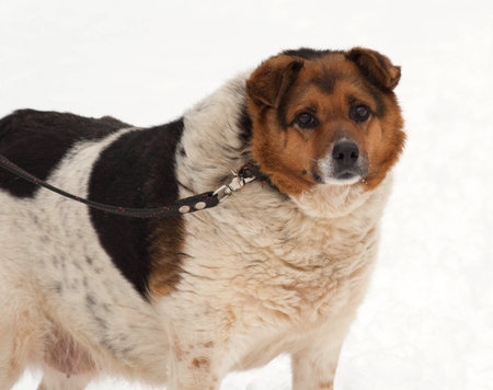 mongrel: Red, black and white mongrel dog standing on white snow Stock Photo