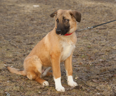 mongrel: Yellow mongrel puppy in red collar sits on grass