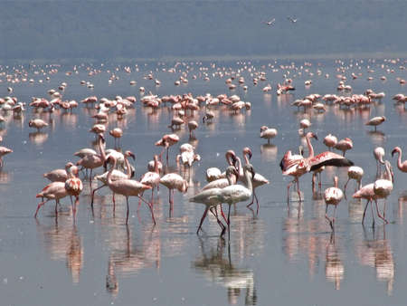 lake naivasha: Flamingos on lake Naivasha